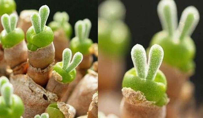 Małe, urocze sukulenty, które wyglądają jak króliczki